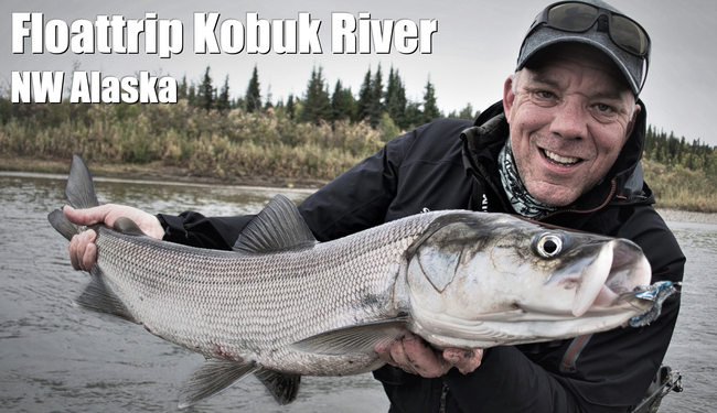 Sheefish Kobuk River Urs Wehrli