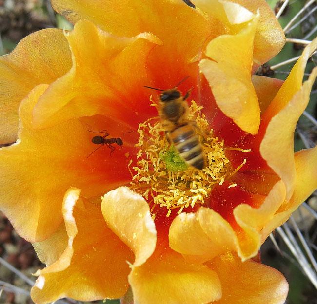 Kaktusblüte innen