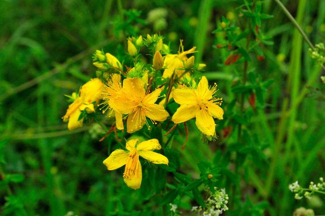 _DSC4575_Millepertuis hirsute-Hypericum hirsutum-Hypericaceae