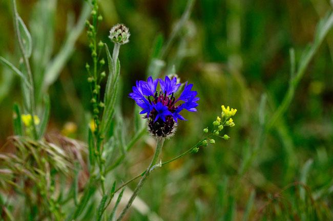 _DSC4933_Bleuet-Cyanus segetum-Astéracéess