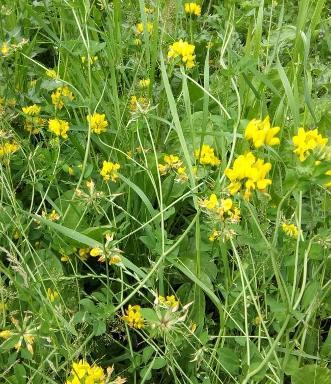 Gewöhnlicher Hornklee (lotus corniculatus) verbirgt sich meist auch im Rasen, duckt sich bei vielgeschnittenem Rasen auf wenige Zentimeter, kann aber bei freier Entfaltung auch etwa 30 bis 40 cm hoch werden.
