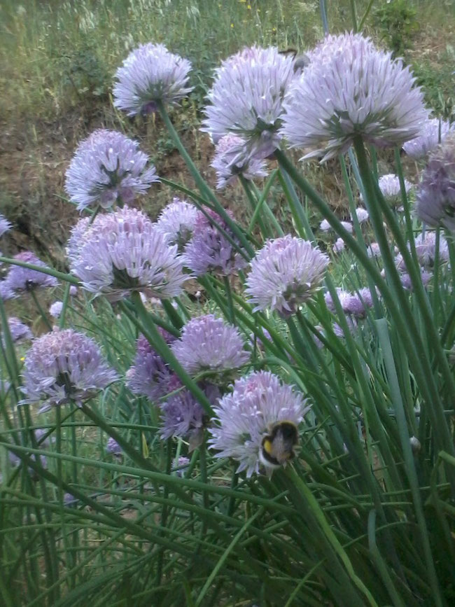 Allium schoenoprassum Cebollino
