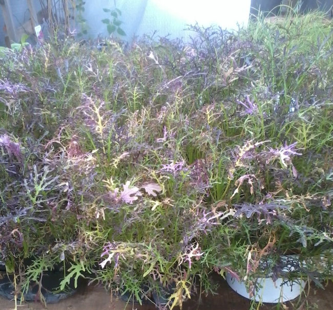 Brassica rapa var. nipposinica