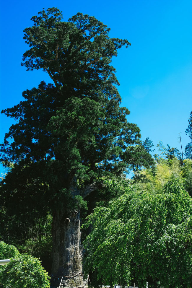 長野県 杉の大木