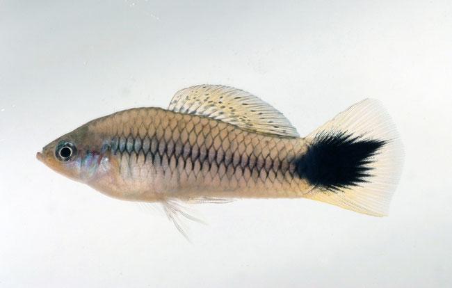 Kreuzt man verwandte Xiphophorus-Arten, sind ihre Nachkommen häufig von schwarzen Flecken gezeichnet. Dabei handelt es sich um eine Form von Hautkrebs. (Foto: Georg Schneider)