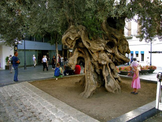 palma di mallorca(olivo secolare)