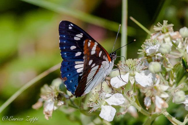 ( Limenitis reducta – Staudinger, 1901 )  Silvano Azzurro una farfalla nostrana da preservare!