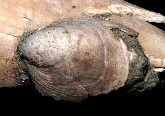 Crepidula fornicata incastonata su Conus antidiluvianus, Vignola (MO)
