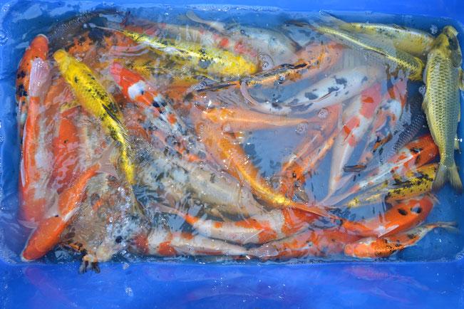 pisciculture carpe koi Attractive koi