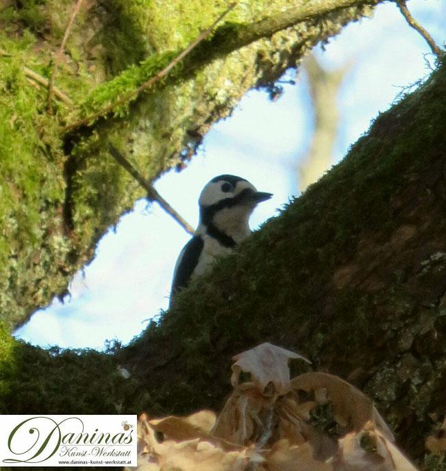 Buntspecht hoch oben am Baumgipfel auf Nahrungssuche by Daninas-Kunst-Werkstatt.at