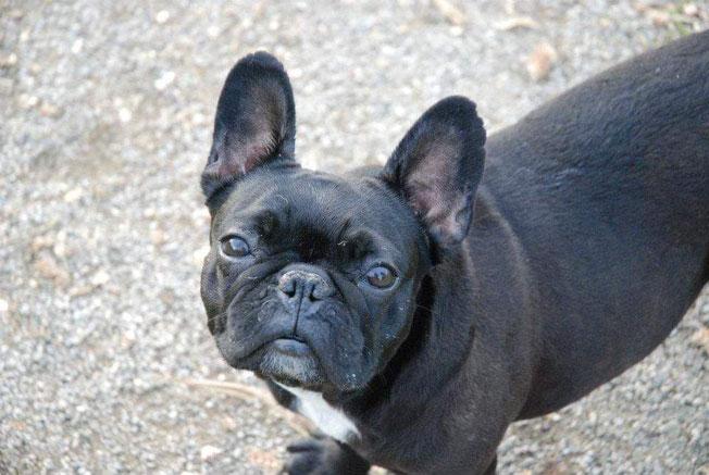 Die Französische Bulldogge Herkules Bully Rettung Co