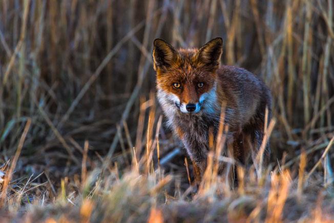Fuchs auf der Jagd in Lille Vildmose. Foto: Ib Dyhr, 2016.