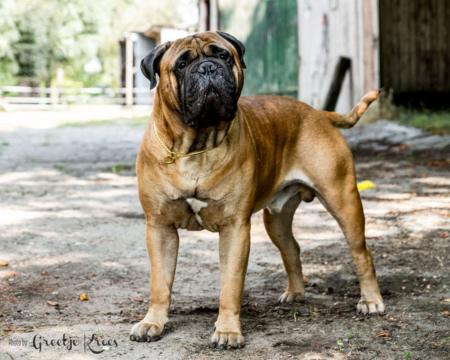 Best of Breed Int. dogshow Dortmund May 2018, 2 years old.