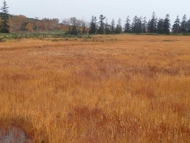 刈安色に染まった湿原