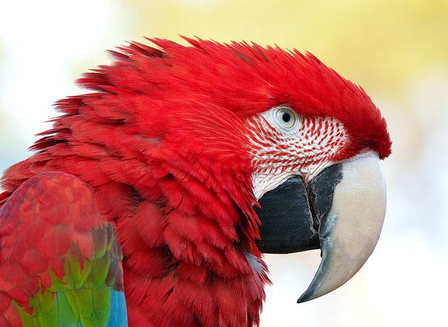Farbenprächtiger Ara macao