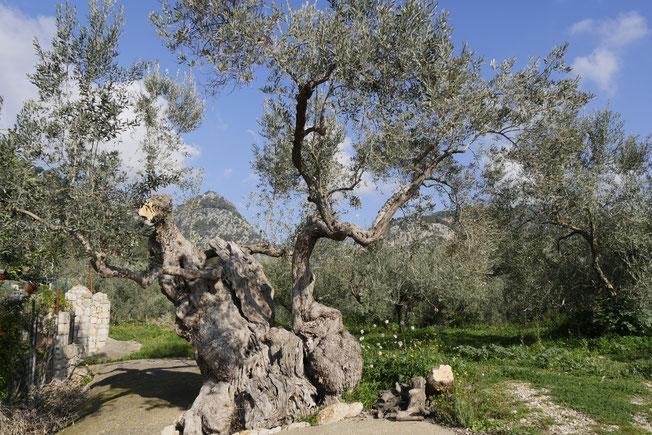 Olivenöl Plantagen Mallorca