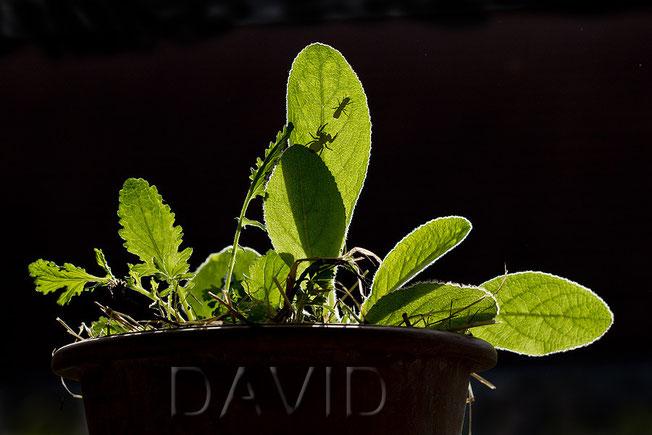 Hahnenfuß-Scherenbiene Osmia florisomnis Springspinne Königskerze Verbascum