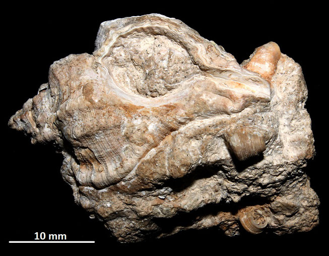 Hexaplex truncatula con frammenti di Jujubinus striatus, Sant'Agostino (Civitavecchia)