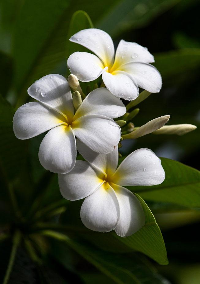 Beautiful Flower with white blossoms, Plumeria, Bora Bora, South Pacific, French Polynesia, 1280x1814px