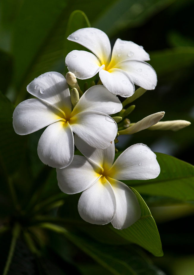 Beautiful Flower with white blossoms, Plumeria, Bora Bora, South Pacific, French Polynesia, 1280x1814px