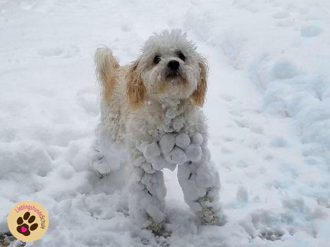 Schnee klebt am Hundefell Schneeklumpen