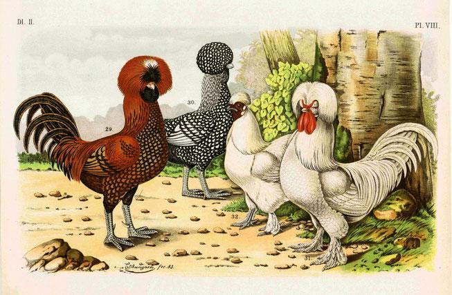 Haubenhühner - aus: Geflügel-Album : III Abtheilungen - 150 Tafeln / nach der Natur gemalt von Jean Bungartz, Thiermaler (1885)