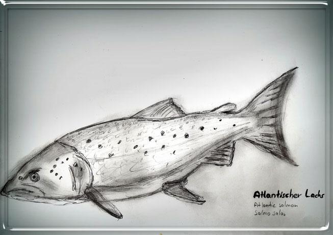 Erol Alp zeichnet Atlantischer Lachs