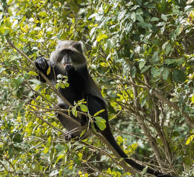Blue Monkey - Diademmeerkatze (Cercopithecus mitis)