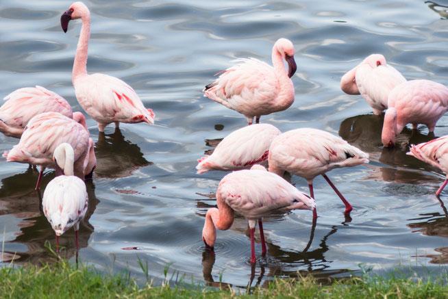 Lesser Flamingo - Zwergflamingo (Phoeniconaias minor)