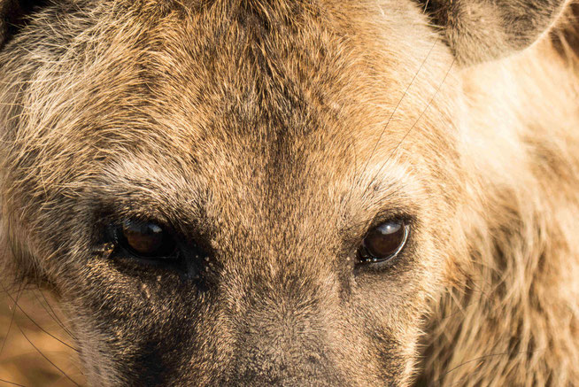 Eyes of the Hyena