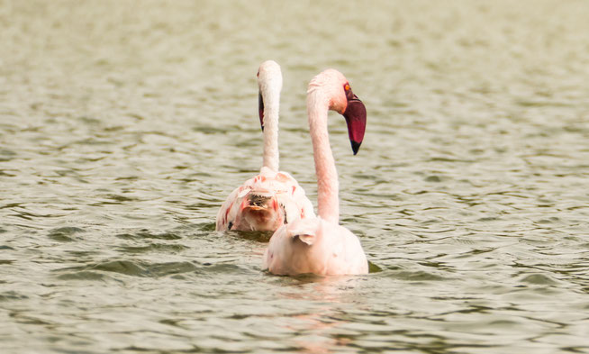 Lesser Flamingo - Zwergflamingo (Phoeniconaias minor)