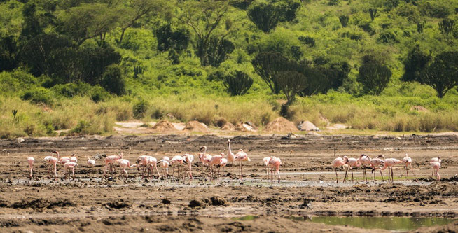 Zwergflamingo - Lesser Flamingo (Phoenicopterus minor)