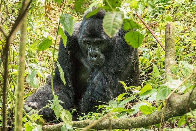 Kabukojo - Silberback der Rushegura Mountain Gorilla Family