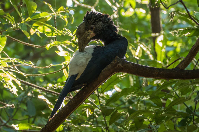 Silvery-cheeked Hornbill - Silberwangenhornvogel (Bycanistes brevis) ♀