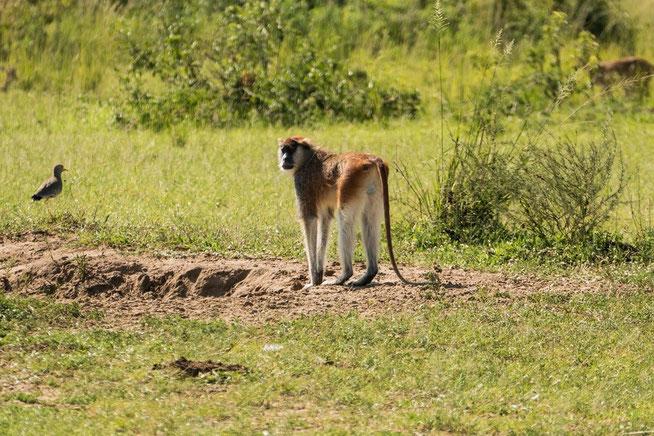 Husarenaffe - Patas monkey (Erythrocebus patas)