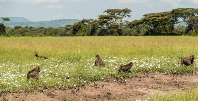 Die Blüten der Groundcreeper Morning Glory (Ipomoea mombassana) sind ein Leckerbissen für Paviane