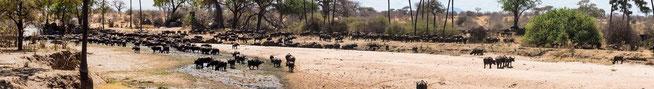 Büffelherde im Mwagusi River an der Picknick-Site