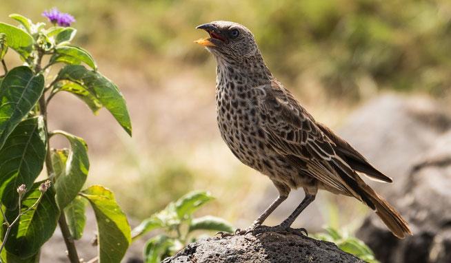 Rufous-tailed Weaver - Rotschwanzweber (Histurgops ruficauda)