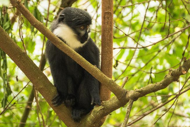 Östliche Vollbartmeerkatze - L'Hoest's Monkey or Mountain Monkey (Cercopithecus lhoesti)