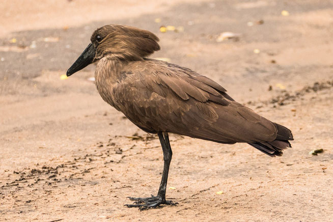 Hammerkopf - Hamerkop (Scopus umbretta)
