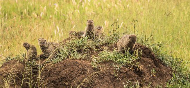 Darf Mongoose - Zwergmanguste (Helogale parvula)