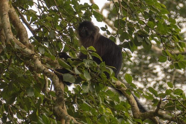 Uganda-Mangabe - Uganda Mangabey (Lophocebus ugandae)