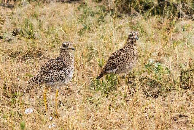 Spotted thick-knee - Kaptriel (Burhinus capensis)