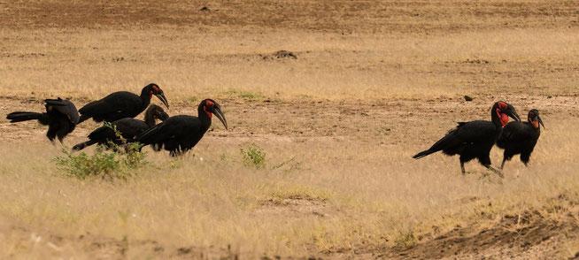 Southern Ground-Hornbill - Südliche Hornrabe (Bucorvus leadbeateri)