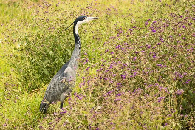 Black-headed Heron - Schwarzhalsreiher (Ardea melanocephala)