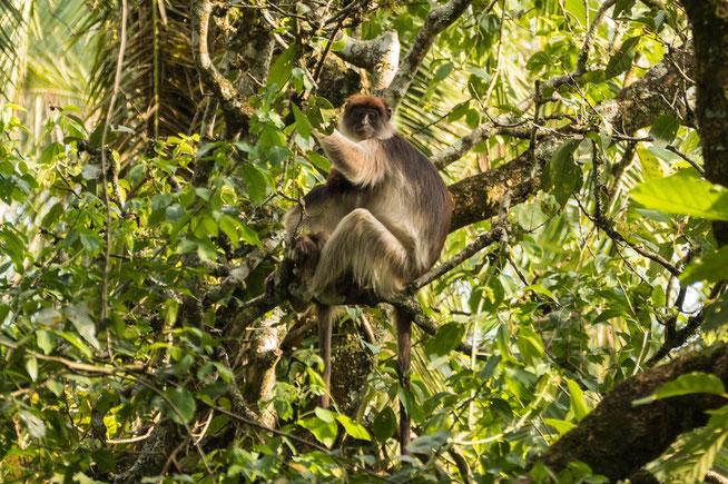 Uganda-Stummelaffe - Ugandan red colobus (Procolobus tephrosceles)