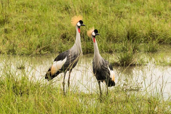 Südafrika- oder Grauhals-Kronenkranich - Grey Crowned Crane (Balearica regulorum)