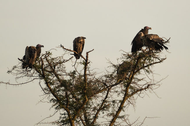 Ohrengeier - Lappet-faced vulture or Nubian vulture (Torgos tracheliotos) und Sperbergeier - Rüppell's vulture or Rüppell's griffon vulture (Gyps rueppellii) zusammen auf Beuteschau