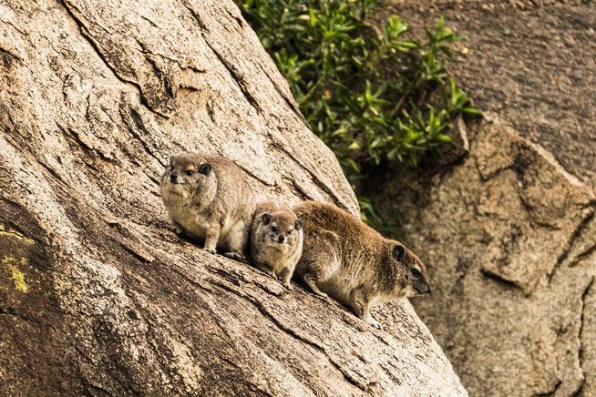 Rock Hyrax - Klippschliefer (Procavia capensis)
