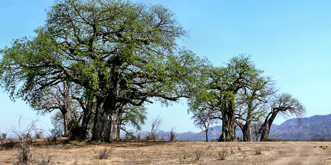 Chitake Baobab Forest